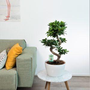 Ficus s type